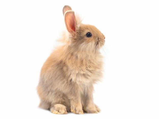 Coniglio sveglio marrone-rosso che si siede sul fondo bianco.
