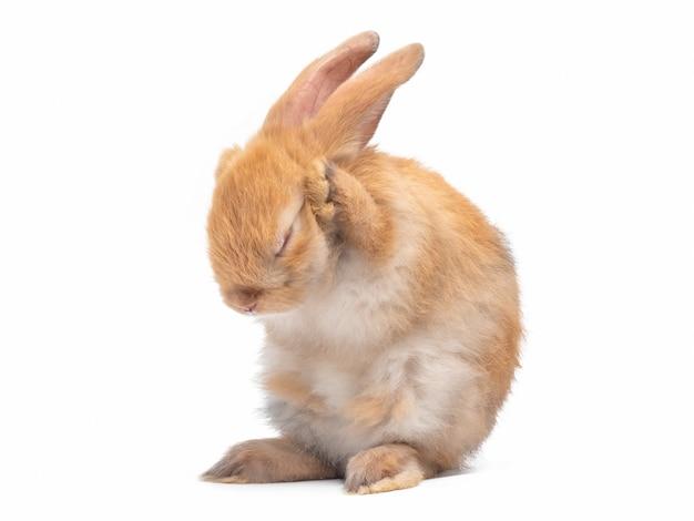 Coniglio sveglio marrone-rosso del bambino che sta e che pulisce il loro fronte isolato sulla parete bianca.