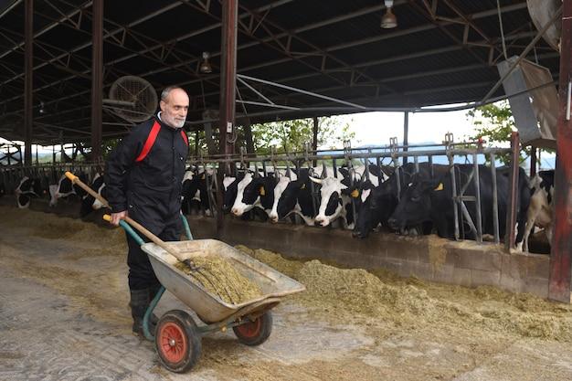 Contadino che lavora con le mucche