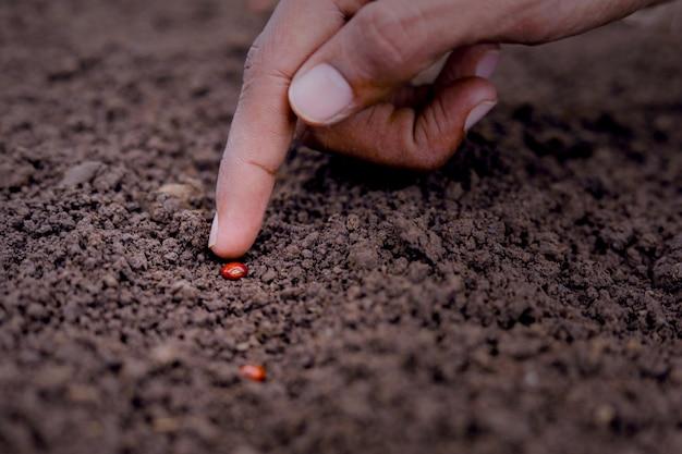Contadino indiano piantare semi di lenticchie