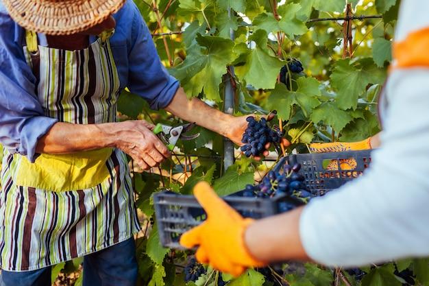 Coppia di agricoltori raccoglie il raccolto di uva in fattoria ecologica.