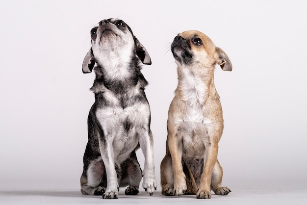 Coppia di cani chihuahua alzando lo sguardo