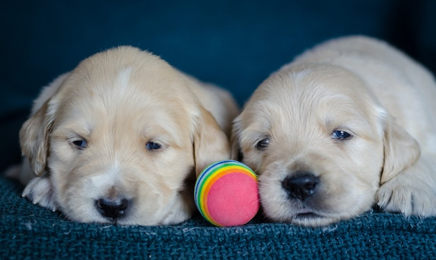 Coppia di cuccioli di golden retriever appena nati giocando con una palla multicolore