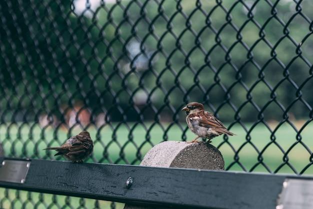 Coppia di due passeri appollaiati su legno vicino a una recinzione cablata