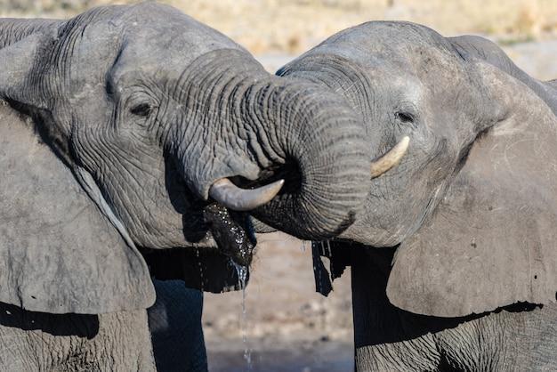 Coppia di elefanti africani a pozza d'acqua. safari della fauna selvatica nel chobe national park, destinazione di viaggio in botswana, africa.
