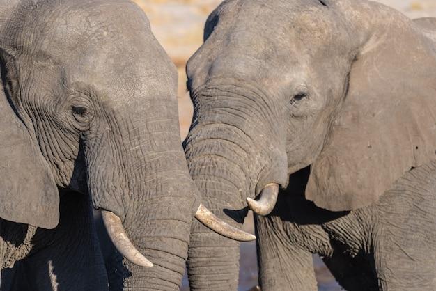 Coppia di elefanti africani, giovani e adulti, a pozza d'acqua. safari della fauna selvatica nel chobe national park, destinazione di viaggio in botswana.