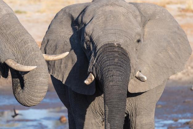 Coppia di elefanti africani, giovani e adulti, a pozza d'acqua.