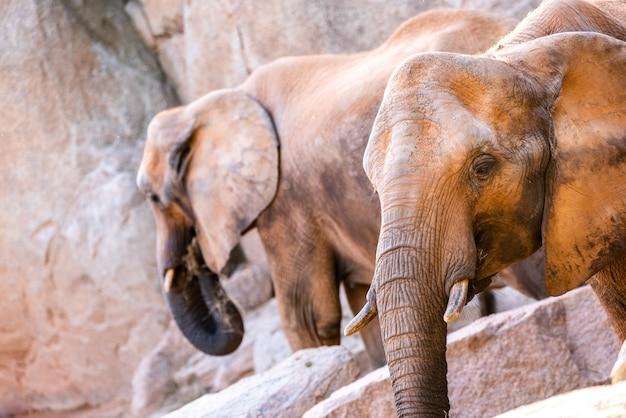 Coppia di elefanti africani savana, loxodonta africana, passeggia con calma.