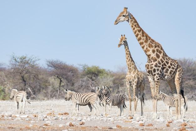 Coppie della giraffa che camminano nel cespuglio sulla pentola del deserto, luce del giorno. safari della fauna selvatica nel parco nazionale di etosha, la principale destinazione di viaggio in namibia, africa.