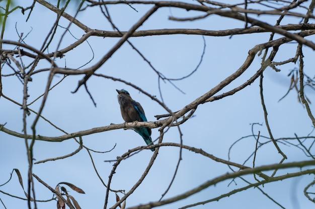 Coracias benghalensis, gli uccelli si attaccano ai rami secchi.
