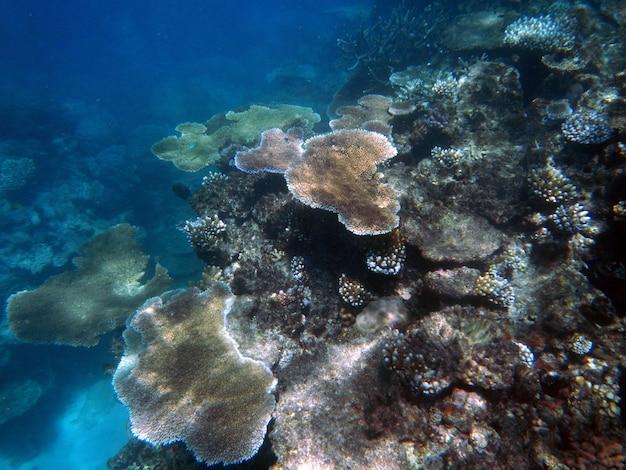 Coralli sott'acqua durante lo snorkeling sulla grande barriera corallina, in australia