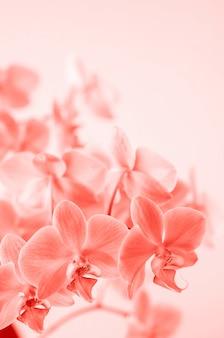 Corallo vivente. il fiore dell'orchidea di phalaenopsis si sviluppa su tenerife, isole canarie. orchidee.