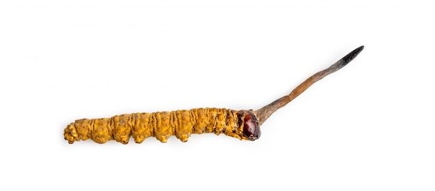 Cordycepe sinensis o cordyceps di funghi questa è un'erba