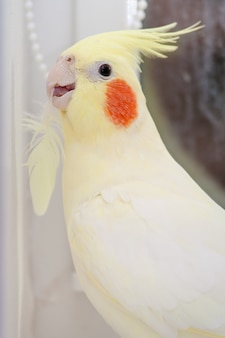Corella di pappagallo con piuma in neb. concetto di muta di uccello. verticale.