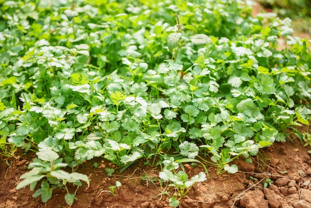 Coriandolo che pianta orto su suolo nell'azienda agricola biologica di verdure