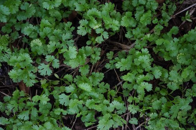 Coriandolo del primo piano, foglie del coriandolo.