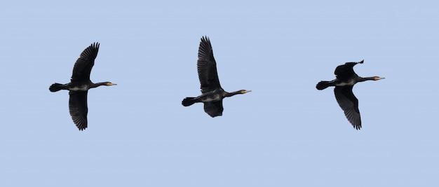 Cormorano che vola nel cielo
