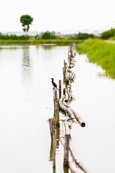 Cormorano indiano, fuscicollis del phalacrocorax, uccello scuro nell'habitat della natura