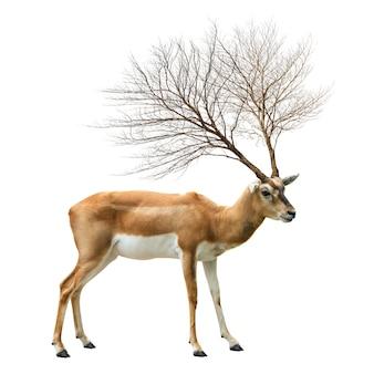 Corna di albero morto su cervo