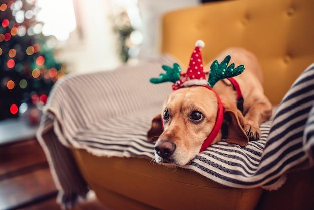 Corni da portare del cane che si siedono sul sofà giallo