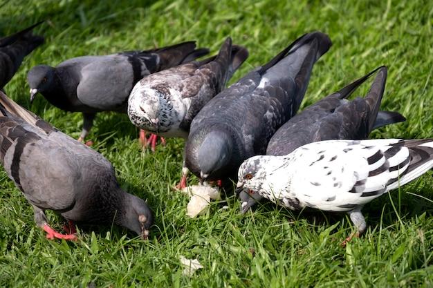 Corona degli uccelli del colombo o del piccione su erba verde al parco pubblico.