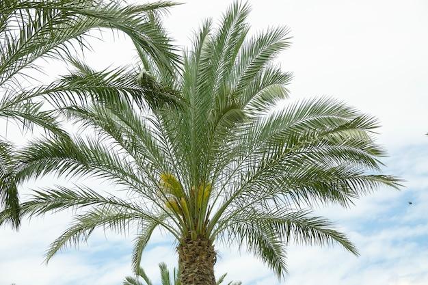 Corona della palma di phoenix con le foglie fertili su tempo nuvoloso nuvoloso
