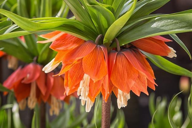Corona di fiori imperiali fritillari