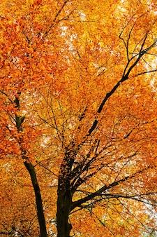 Corona di un albero con fogliame arancione brillante