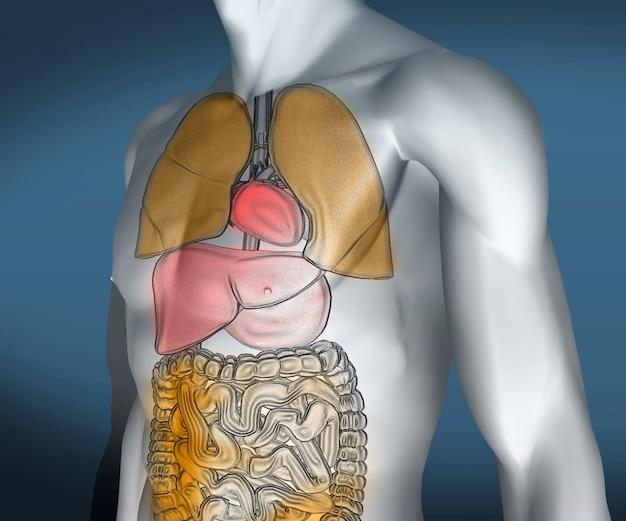 Corpo digitale trasparente colorato con organi visibili