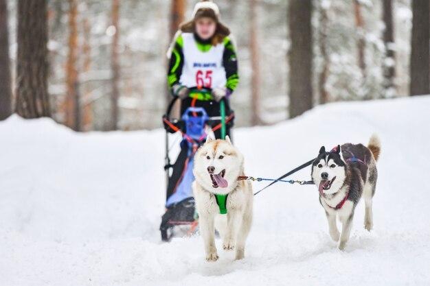 Corse di cani da slitta husky siberiano