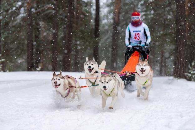 Corse di cani da slitta. la squadra di cani da slitta husky tira una slitta con autista di cani. competizione invernale.