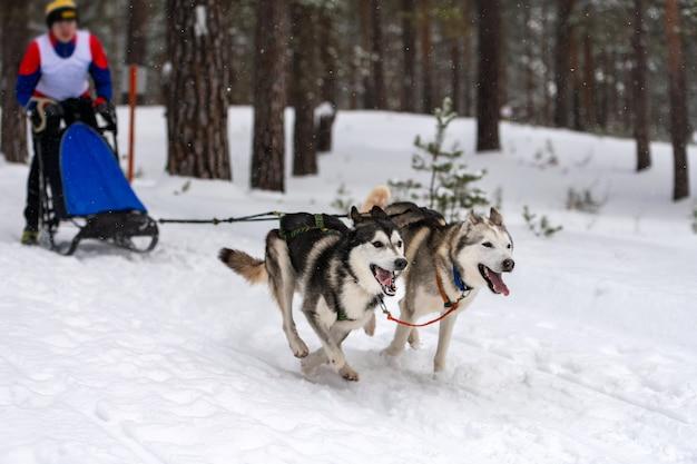 Corse di cani da slitta. la squadra di cani da slitta husky tira una slitta con musher di cane. competizione invernale.