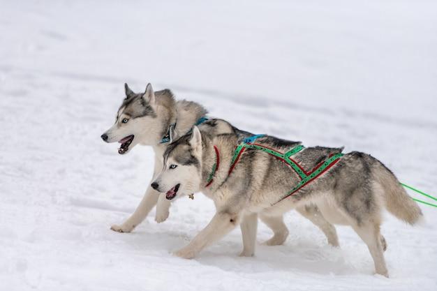 Corse di cani da slitta. squadra di cani da slitta husky nella corsa dell'imbracatura e tirando il driver del cane. competizione di campionati sportivi invernali.
