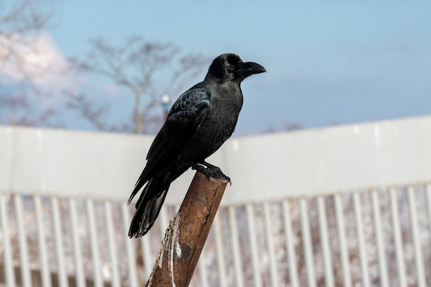 Corvo della giungla, corvo a becco maggiore, corvo dal becco grosso nell'hokkaido, giappone
