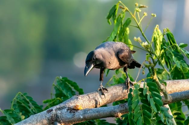 Corvo di casa su un albero che guarda curiosamente