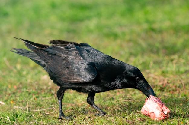 Corvo nero che mangia