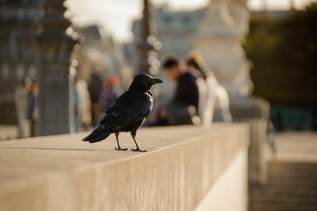 Corvo nero seduto sul parapetto di cemento