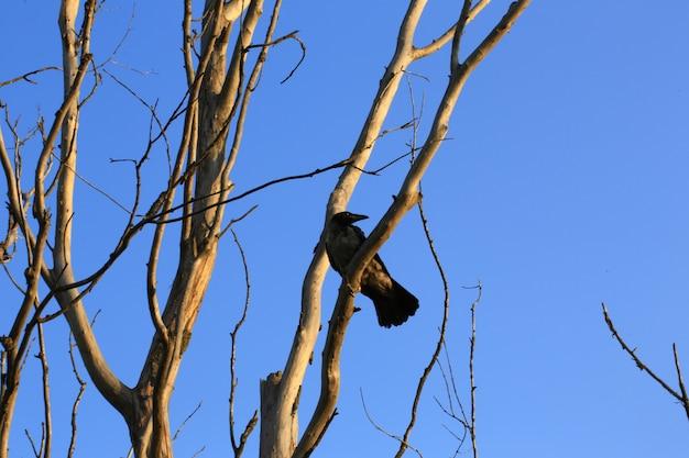 Corvo sul vecchio albero secco