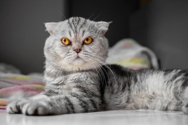 Così carino di gatto piega scozzese.