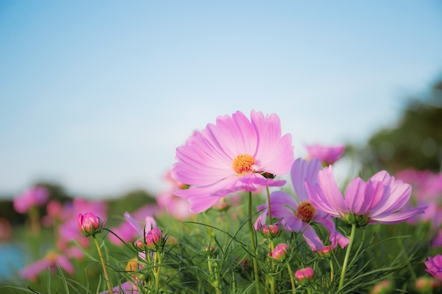 Cosmo rosa con cielo blu.
