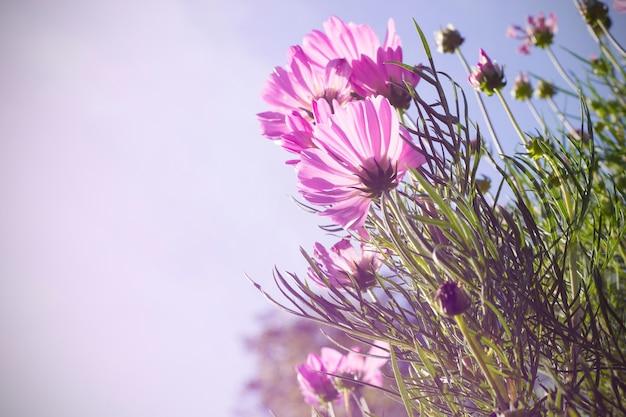 Cosmo rosa in giardino, inverno
