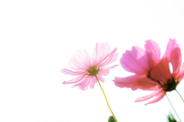 Cosmo rosa su sfondo bianco.