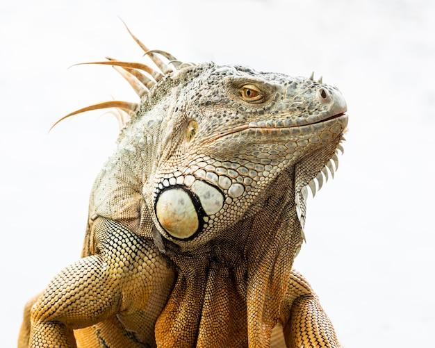 Costa rica tortuguero iguana.