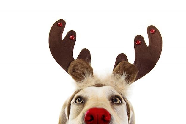 Costume delle corna di renna di natale del cane del labrador del primo piano. isolato