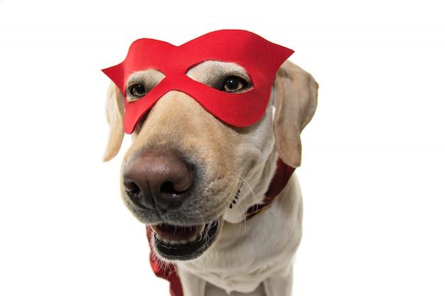 Costume eroe del cane. primo piano del labrador vestito con una cappa e una maschera rossa. colpo isolato contro il fondo bianco.