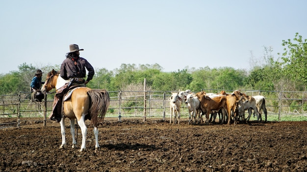 Cowboy a cavallo e mucca nel terreno agricolo