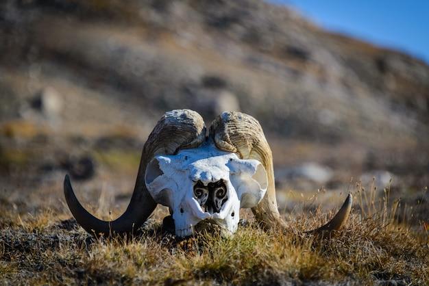 Cranio di muskox (ovibos moschatus) nella tundra groenlandese
