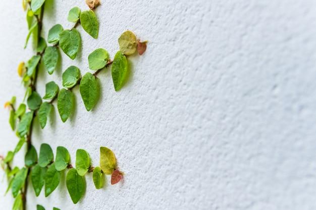 Creepers sul muro di cemento bianco, close up e sfocatura dello sfondo.