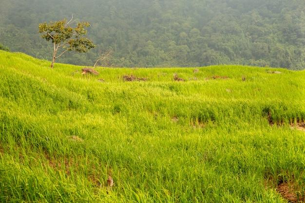Crescita archiviata del risone nel paesaggio del fondo della natura della montagna.