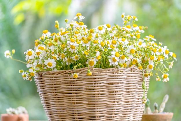 Crescita del fiore della margherita in cestino di vimini.